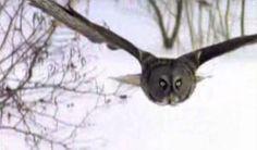 Owls - Answers in Genesis