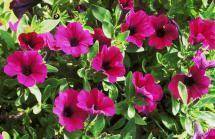 Top 10 Flowers to Attract Hummingbirds: Petunia