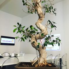 Suite4 - set up for 14 people and... one Bonsai tree!
