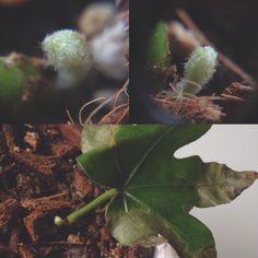 aralia talea, dopo 4 mesi i primi segni di vita