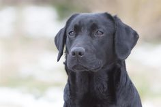 A nice photo here from Blacksykes Labradors as seen on Gundog Breeders UK