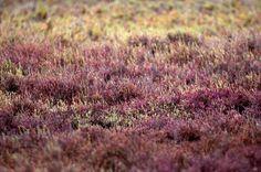 #guidofrilli - Nikon D300 + Tamron 150/600 - photo Guido Frilli - Sinis Desert Stagno di Mistras -  salicornia europea (Salicornia europaea L., 1753) è una pianta succulenta della famiglia delle Chenopodiacee