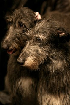 Littermates Deirdre and Ambrose, the Duchesne family's pair of Irish Wolfhounds.  When they come charging after Henry and MJ, barking in their deep baritone barks, they put the kids in fear for their lives, but they turn out to do nothing but knock them down, tails wagging, and lick them like crazy.