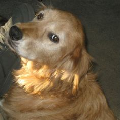 This is Lucky - 8 yrs. He and his sister were left behind in the yard when the family moved away. They were not taken care of very well and Lucky has calluses and lumps on his back and his tail does not feather like most Goldens. He gets along with other dogs. Lucky is a gentle boy looking for love and a forever home. he is at Gold Bond Of Oregon.