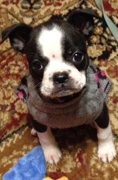 precious boston terrier