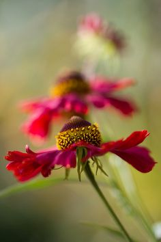 Heleniums   Flickr - Photo Sharing! Reminds of a dancer spinning.  Beautiful!