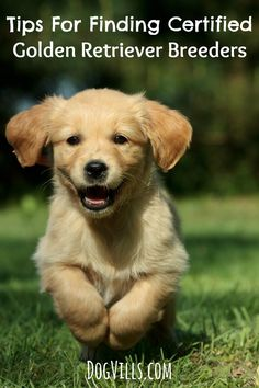 Before you buy a pure bred dog, check out these tips for finding a certified breeder for Golden Retrievers to make sure you're getting a healthy family dog.