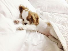 Adorable Cavalier King Charles Spaniel napping