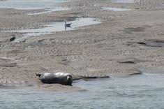 Berck-Plage et les phoques de la Baie d'Authie
