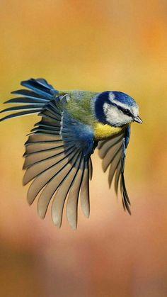 Blue Tit (Parus caeruleus).