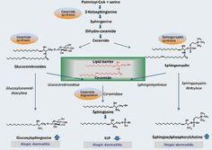 Story Of P1P :: 아토피 피부염과 피부지질내 P1P(S1P)의 함량