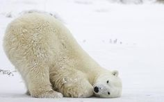 Plight of polar bears captured in arctic images - Telegraph