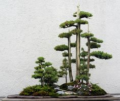 Juniperus chinensis 'Foemina' - Bonsai are really rad.