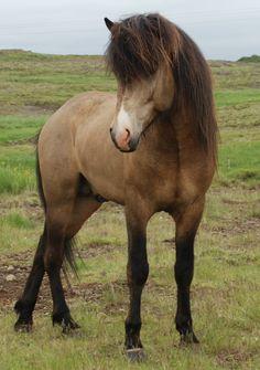""" majestic Þorlákur frá Prestsbæ"" Icelandic horse"