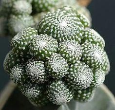 Blossfeldia liliputana, native to northern Argentina by Mike Keeling