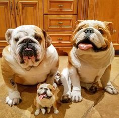 "The cutest ""baggy bully family"" I've ever seen!"