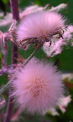The Mimosa tree towered over her tiny trailer and I would practically cram the flowers into my nose with pure olfactory joy for days on end. Strange Flowers, Unusual Flowers, Rare Flowers, Flowers Nature, Amazing Flowers, Pink Flowers, Beautiful Flowers, Beautiful Images, Flower Pictures