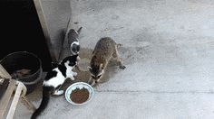 Dang raccoons--sneaky! Carpe diem. | 31 GIFs That Will Make You Laugh Every Time