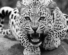 https://www.google.co.uk/search?q=most+beautiful+big+cat&client=firefox-b&sa=X&dcr=0&biw=1536&bih=704&tbm=isch&source=iu&ictx=1&fir=yFYQynJKlv09KM%253A%252Cba5-jtWIhotBIM%252C_&usg=__daG3S4_yv9QPAz5c5MqavjdeM0I%3D&ved=0ahUKEwiD7ZugyKjYAhWqD8AKHTZgChwQ9QEIgAEwEg#imgrc=lNcEBRdSP4m5CM: