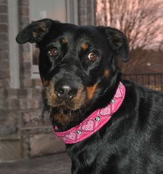 "Zoey wearing Pet Necklace ""Hearts"" Design Dog Collar in Fuschia with Black and White Thread"