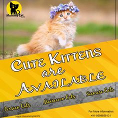 Are you in search of a healthy Persian cat in Hyderabad? Mummy Cat is offering fluffy and flat-faced Persian kittens online for sale with health certificates. Now, buy adorable kittens online by seating at your home. Persian Cat Price, Persian Kittens For Sale, Kitten For Sale, Kittens Cutest, Cats And Kittens, Cat Online, Fluffy Cat, Siamese Cats, Hyderabad