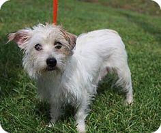 Missouri City, TX - Maltese/Cairn Terrier Mix. Meet Kachine, a dog for adoption. http://www.adoptapet.com/pet/11479302-missouri-city-texas-maltese-mix