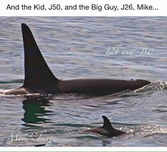 Keiko Is Better Than You dutchorca: Check out this lovely photo of big brother Mike and his little sisterJ50! This is too cute!  From the Orca Conservancy's Facebook.