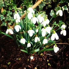 Delicate January snowdrops brighten up our winter garden.