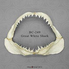 Great White Shark Jaw BC-249