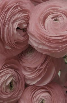 Pink Ranunculus to brighten your Friday afternoon. #inspiration