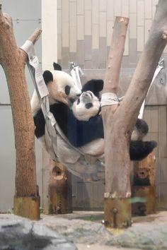 今日のパンダ(2213日目)   毎日パンダ Panda Day, Panda Love, Cute Panda, Baby Cubs, Baby Bears, Beautiful Creatures, Animals Beautiful, Chiang Mai, Animals And Pets