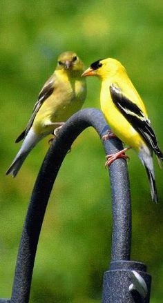 American Goldfinches.....Love watching them in  garden in the Fall, eating Sunflower seed