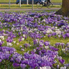 Fleurs sauvages Graines-vessie Campion 2000 Graines