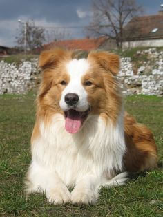Most up-to-date Images Border Collies red Style The actual National boundaries Collie hails from your borderlands involving He uk plus Scotland (hence this id. Red Border Collie, Border Collie Puppies, Collie Dog, Australian Shepherds, West Highland Terrier, Scottish Terrier, Smartest Dogs, Labrador Retriever Dog, Mundo Animal