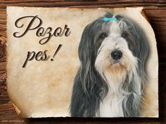 Cedulka Bearded kolie I - Pozor pes