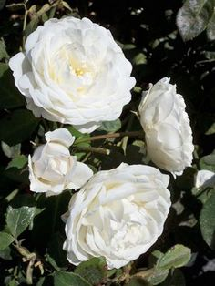 Rosa (Cloud 10™)  Cloud 10™ is a pure white climbing rose that has a very full flower similar to the English Roses. It is hardy to zone 6 (in zone 5 it would be more like a large shrub). It will do great everywhere, but especially in the South and all areas troubled with black spot.