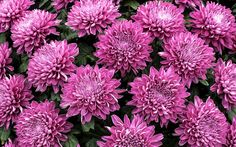 1857827, free download pictures of chrysanthemum