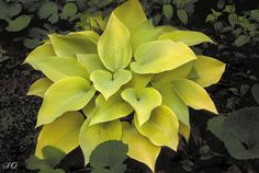 Explore yellow hostas in your garden. There are many different yellow hostas that can be used as focal points or accents in your garden.