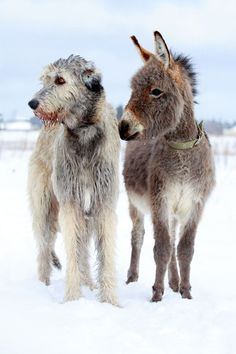 Irish Wolfhound and Donkey