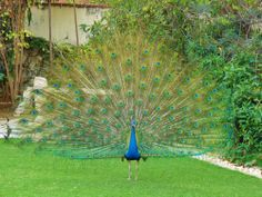 Proud Indian peacock displays on the grounds of Taj Rambagh Palace Hotel, Jaipur, Rajasthan, India