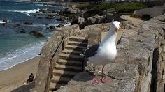 Pacelli in Pacific Grove. Seagull whisperer.