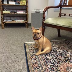 Miss Gigi... at the office w/ me today. Can you tell she's thrilled?  #nosquirrelstochase.  #LifeWithGigi