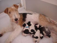 Introduction To Owning A Wire Fox Terrier Fox Terriers, Perro Fox Terrier, Wire Fox Terrier Puppies, Wirehaired Fox Terrier, Welsh Terrier, Wire Haired Terrier, Baby Animals, Cute Animals, Beautiful Dogs