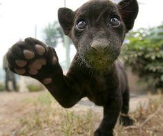 Panther - Black Jaguar cub