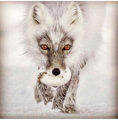 fox egg!