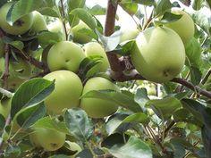 Green Apple, Apples, Fruit