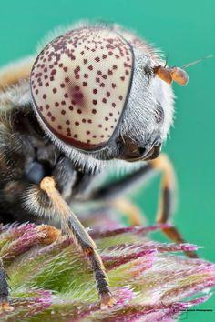 Syrphid Fly - Eristalinus aeneus by ColinHuttonPhoto.deviantart.com on @deviantART