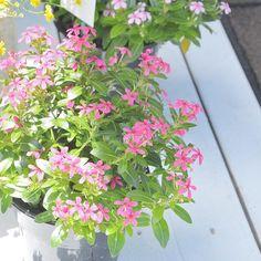 植物アプリの決定版 http://greensnap.jp  #植物好きと繋がりたい #ボタニカル#ドライフラワー #ガーデニング  #園芸 #フラワー #花のある暮らし #gardening  #containergarden #flowerstagram #greenthumb  #containergarden #botanical