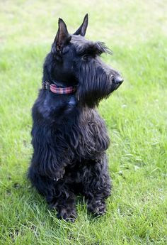 Love a Scottish Terrier, look at that face...