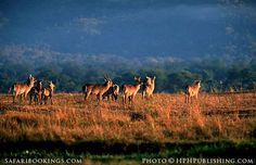 #Waterbuck @ Mana Pools National Park in #Zimbabwe. For a #Mana pools travel guide visit www.safaribookings.com/mana-pools